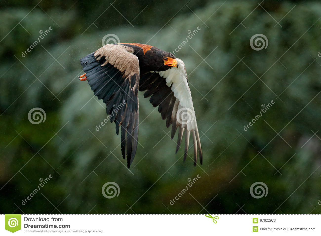 Bateleur Eagle, Terathopius ecaudatus, brown and black bird of prey fly in the nature habitat, Kenya, Africa. Wildlife scene form