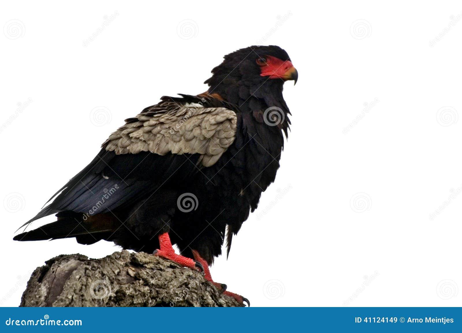 Bateleur Eagle (Terathopius ecaudatus)