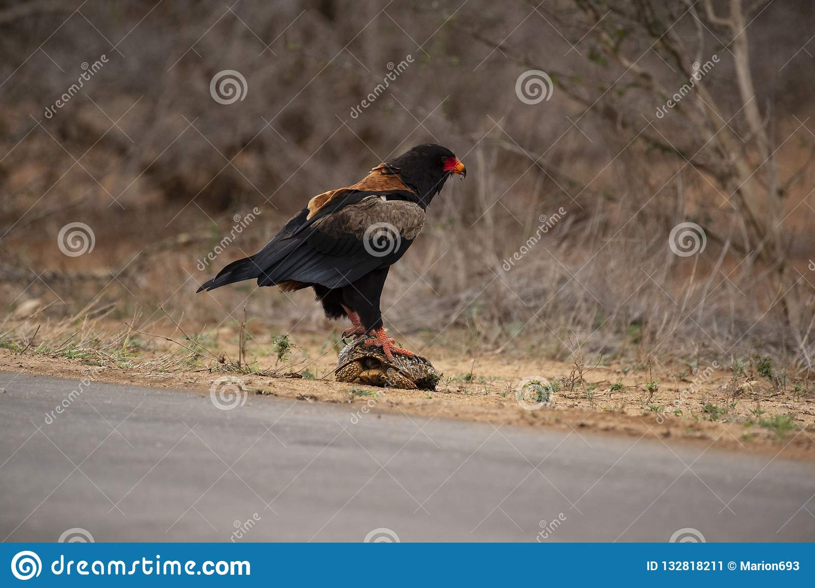 Bateleur Eagle, Terathopius ecaudatus, standing on tortoise with back to camera