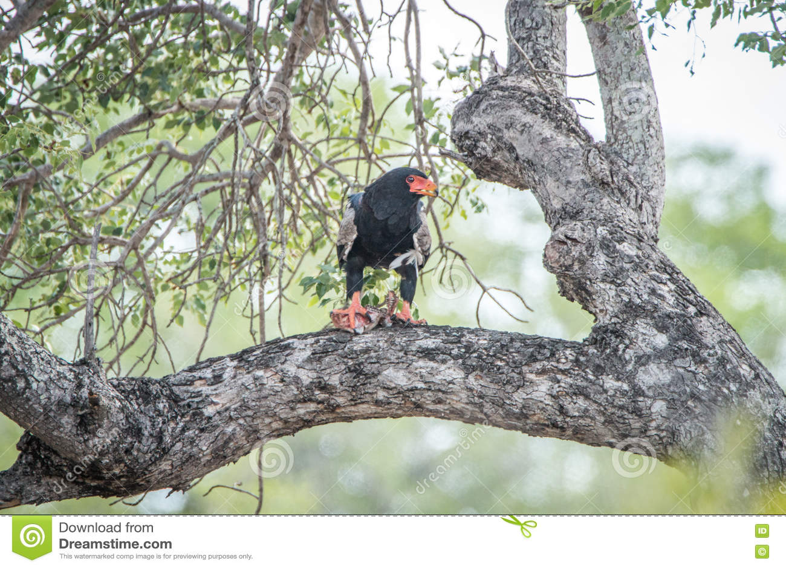 Bateleur eating in a tree.