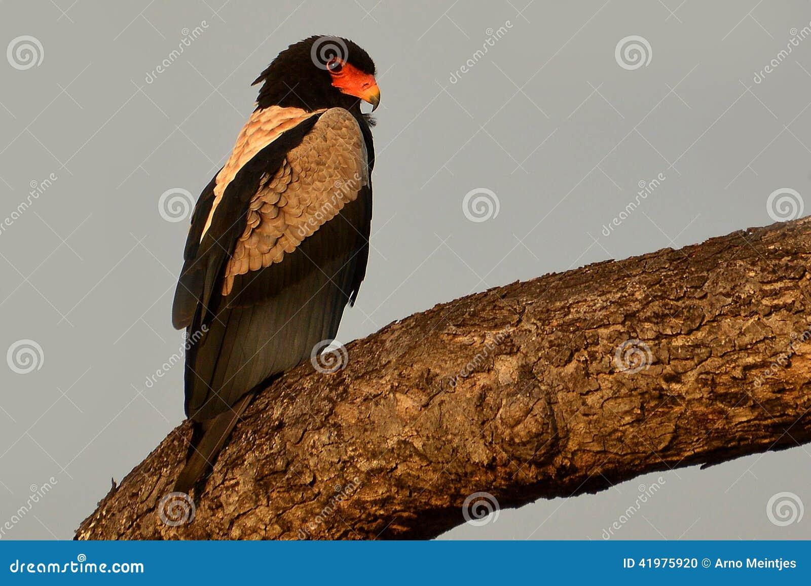 Bateleur (Terathopius ecaudatus)