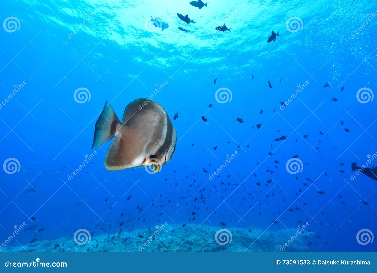 Batfish sombre