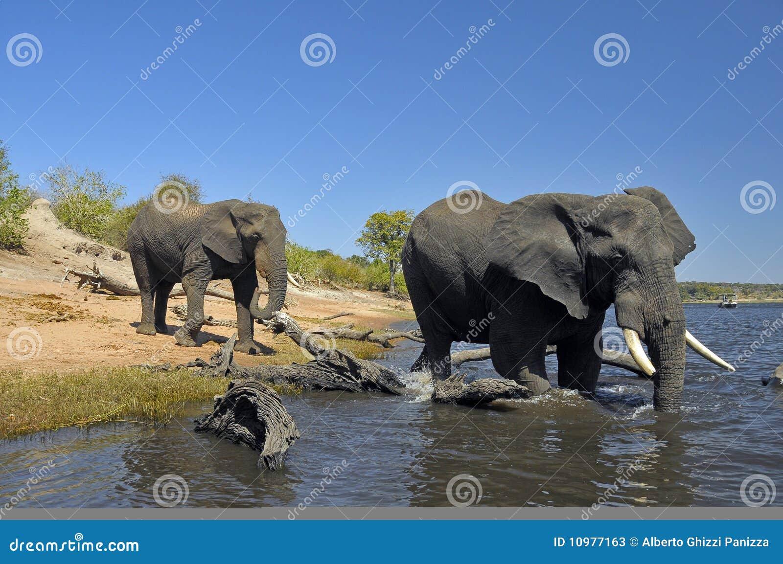 A bathe in Chobe river