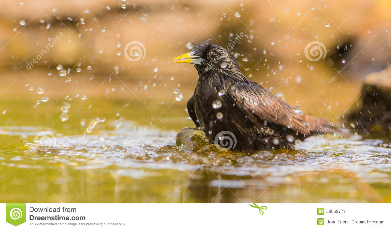 Bathing Common Starling