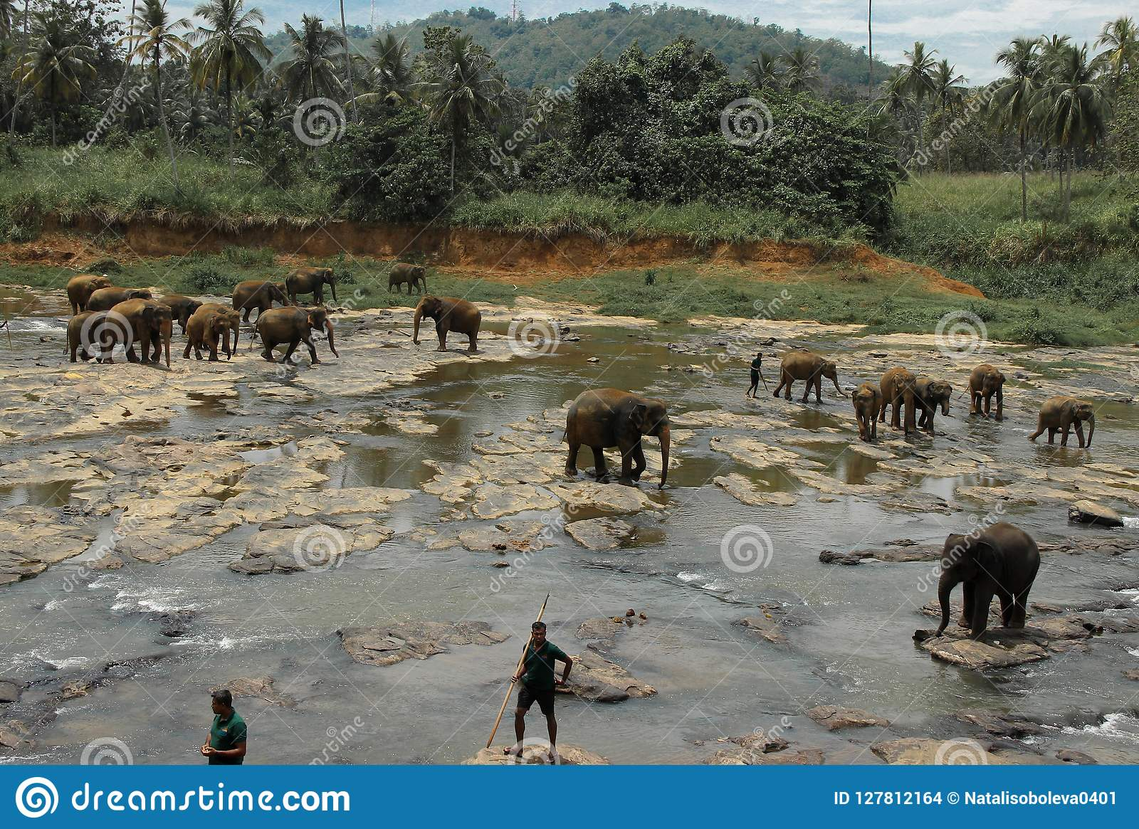Bathing of Elephants. Sri lanka.