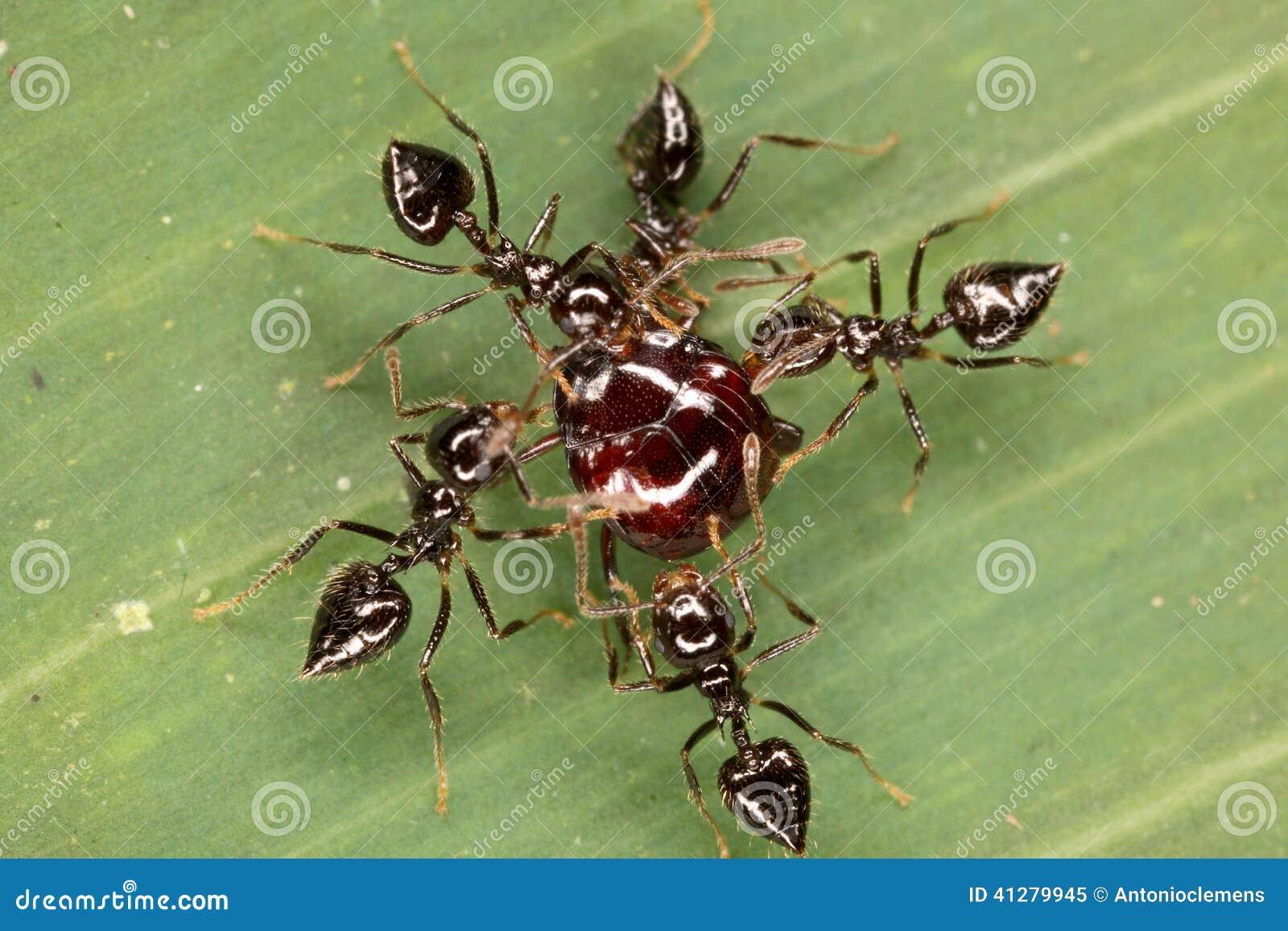Battaglia dello scarabeo e delle formiche su una foglia for Debellare formiche