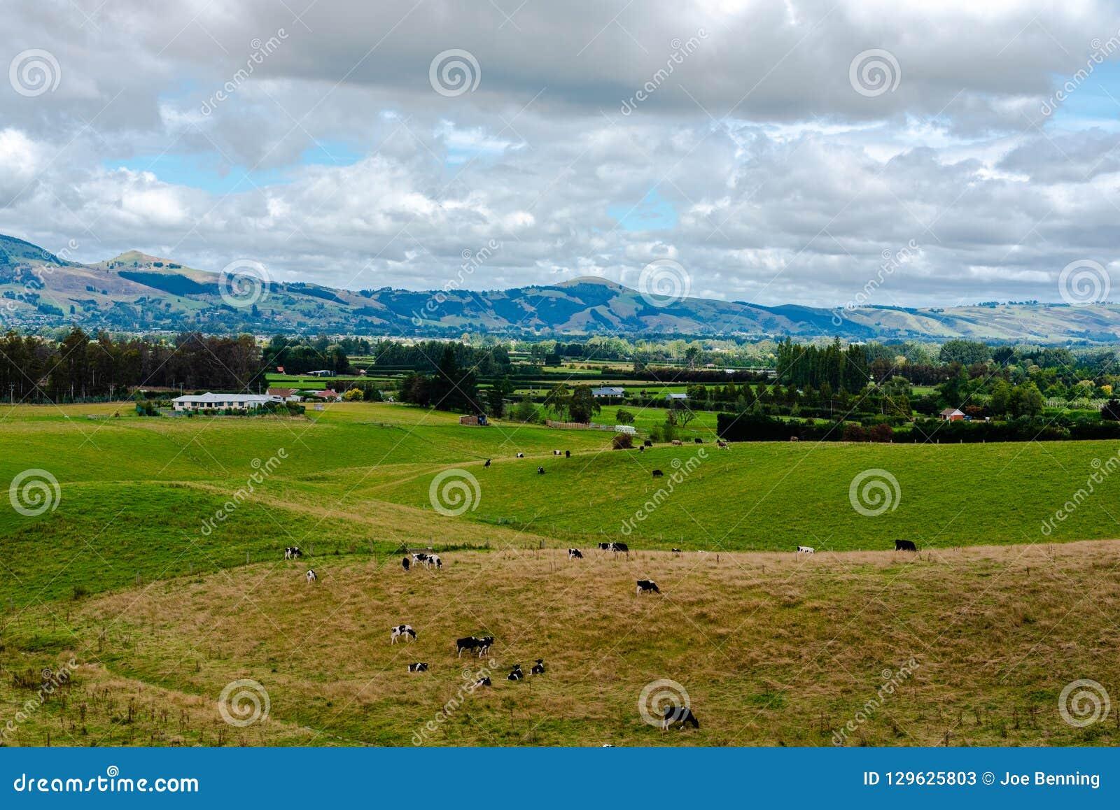 Bauernhof in Neuseeland mit dem Weiden lassen des Viehs