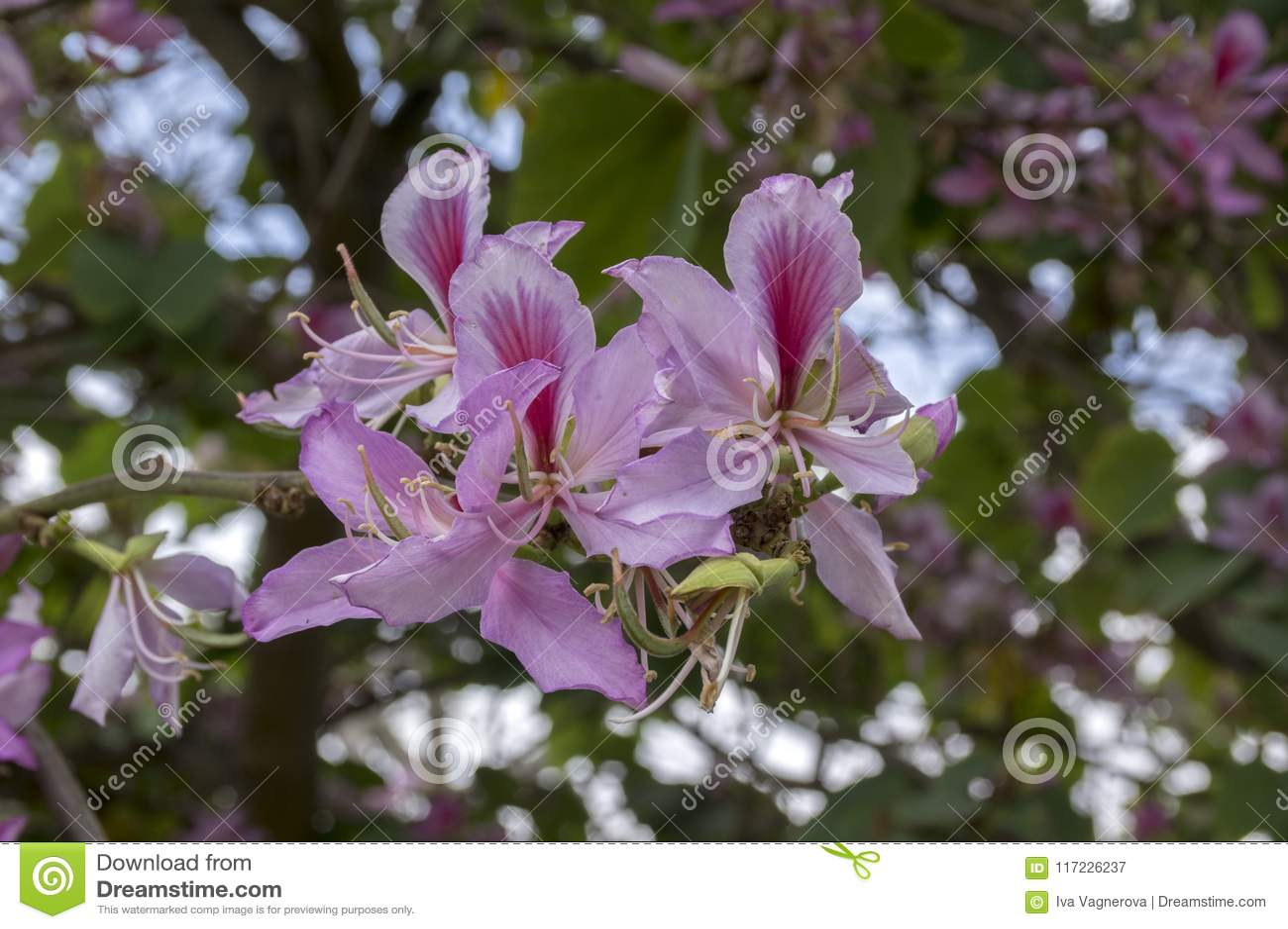 Bauhinia Purpurea Flowering Tropical Tree With Purple Pink Violet