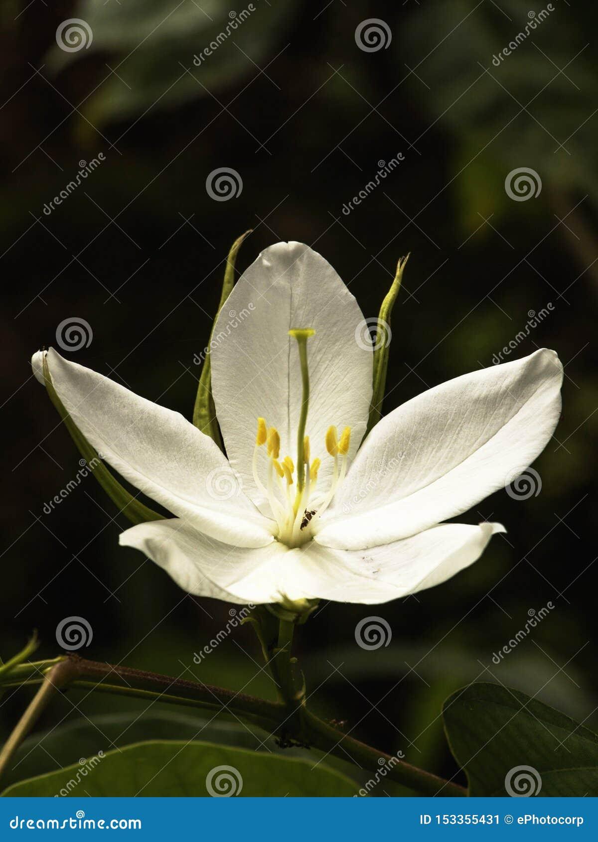 Bauhinia Racemosa Or Bidi Leaf Tree Is A Rare Medicinal