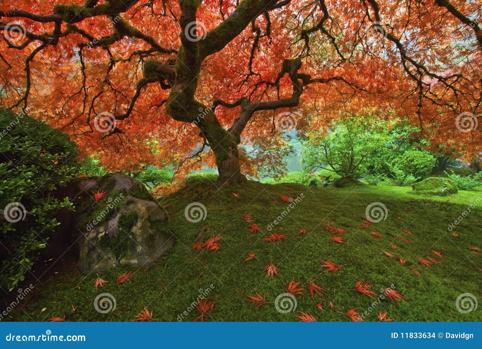 Baum des japanischen Ahornholzes im Fall 2