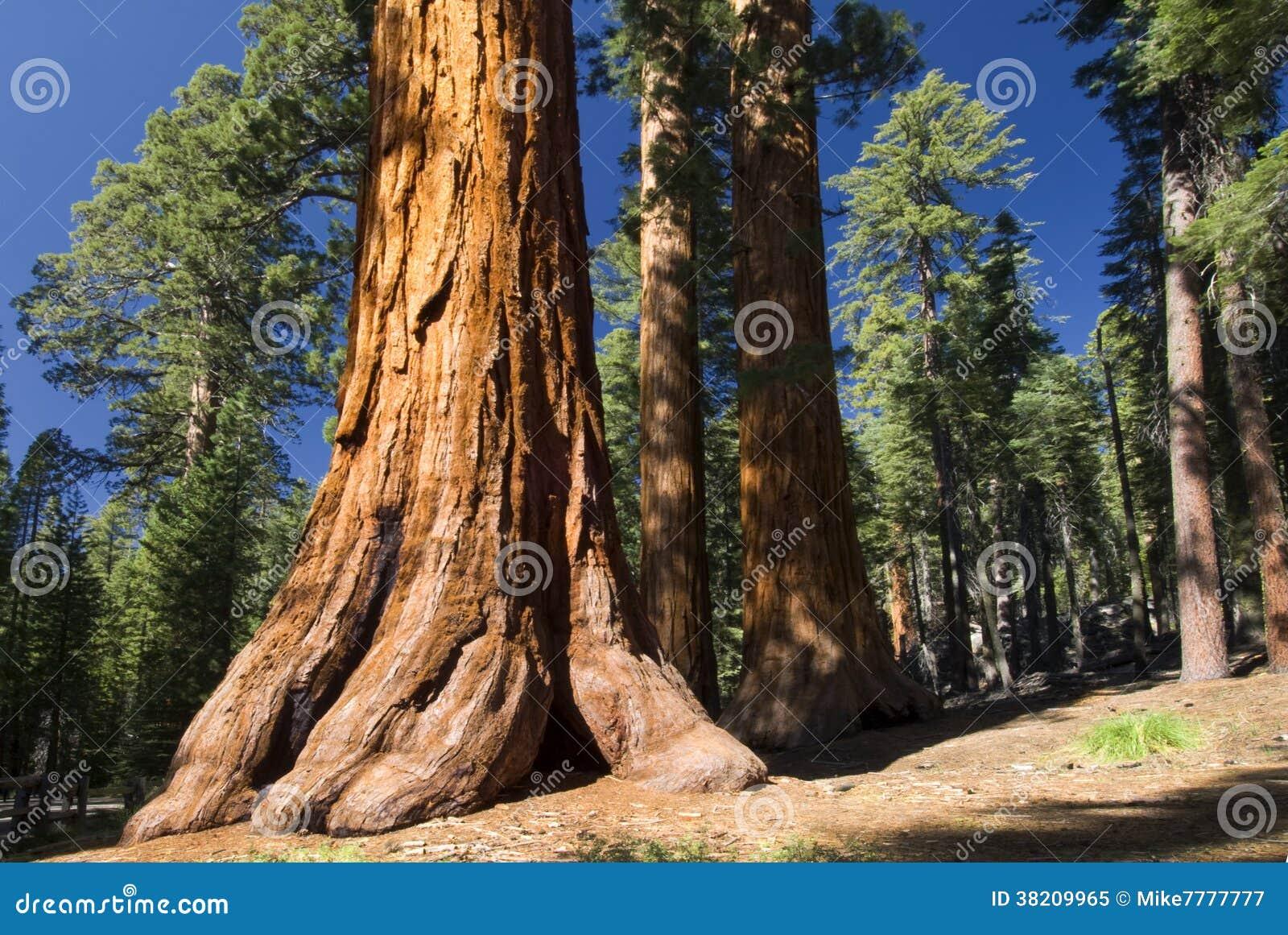 Baum des riesigen Mammutbaums, Mariposa Grove, Yosemite Nationalpark, Kalifornien, USA