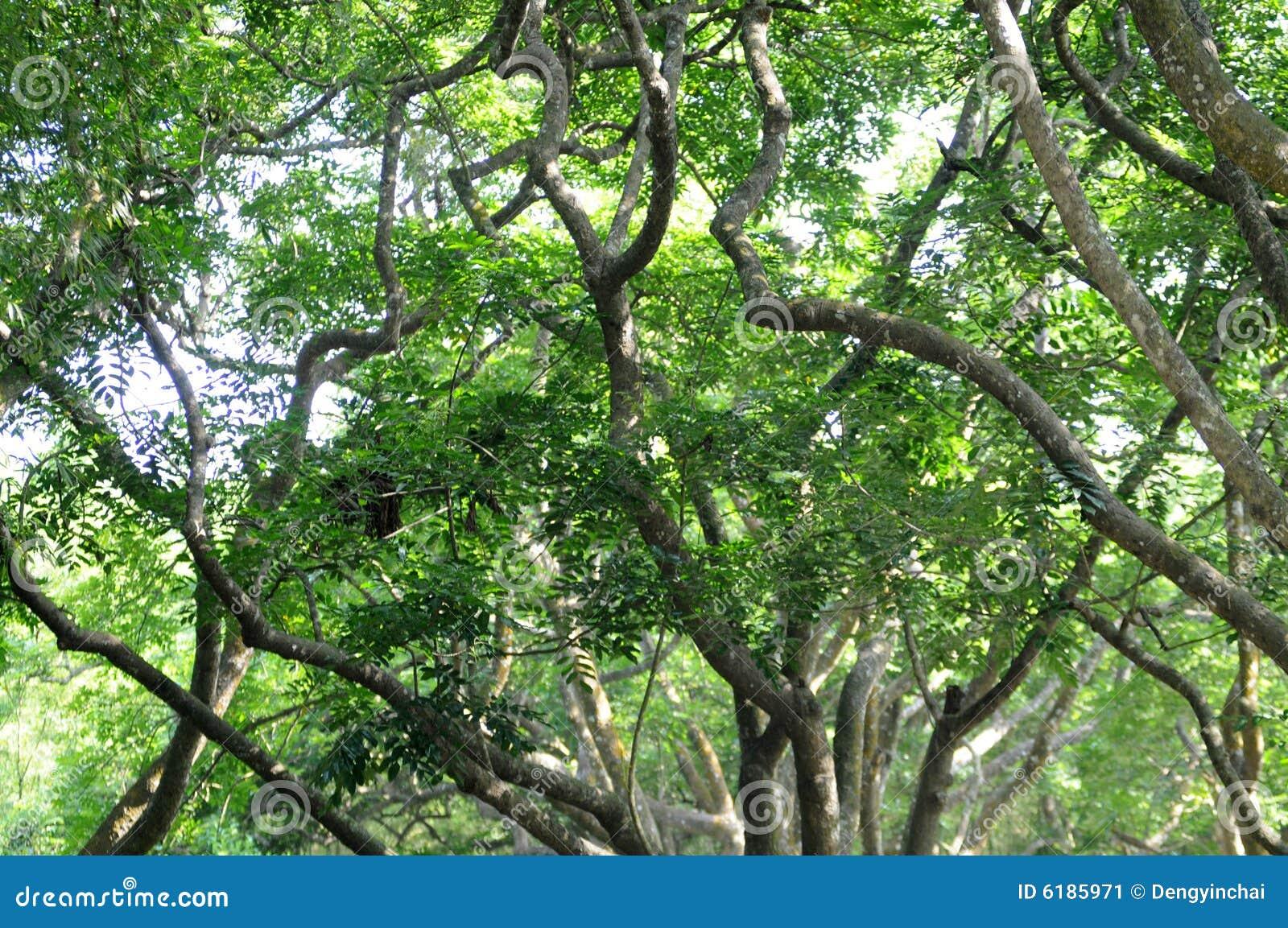 Baum des Waldes des tropischen Regens