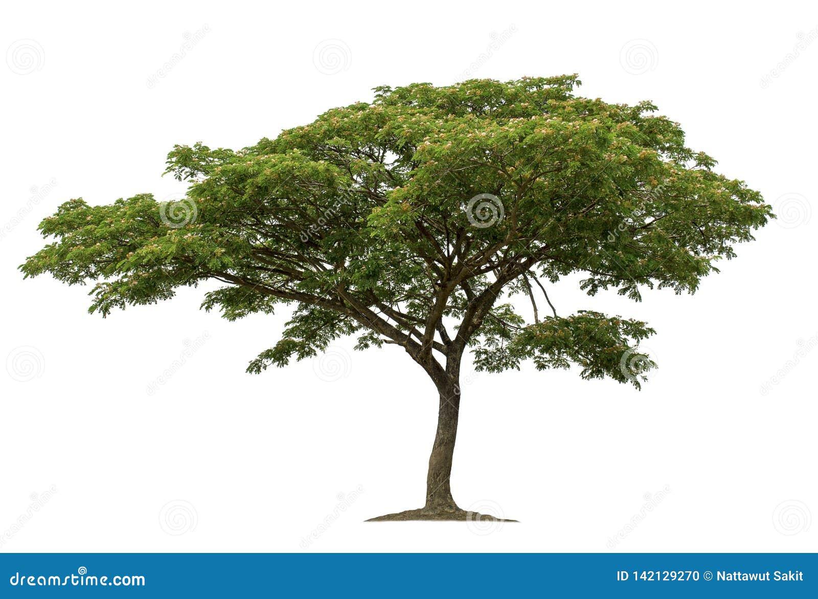 Baum lokalisiert auf weißem Hintergrund mit Beschneidungspfaden für Gartenentwurf