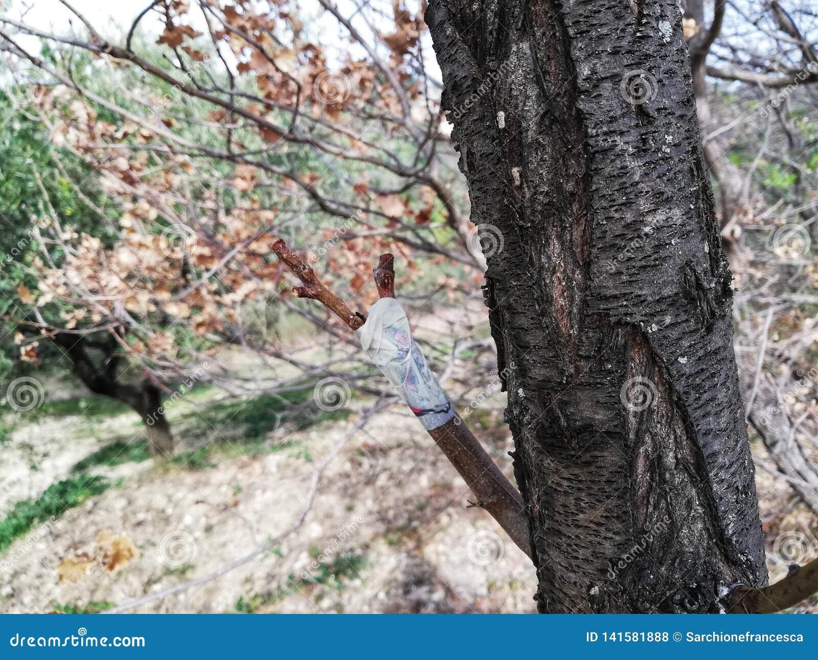 Baum mit verpflanzter Niederlassung