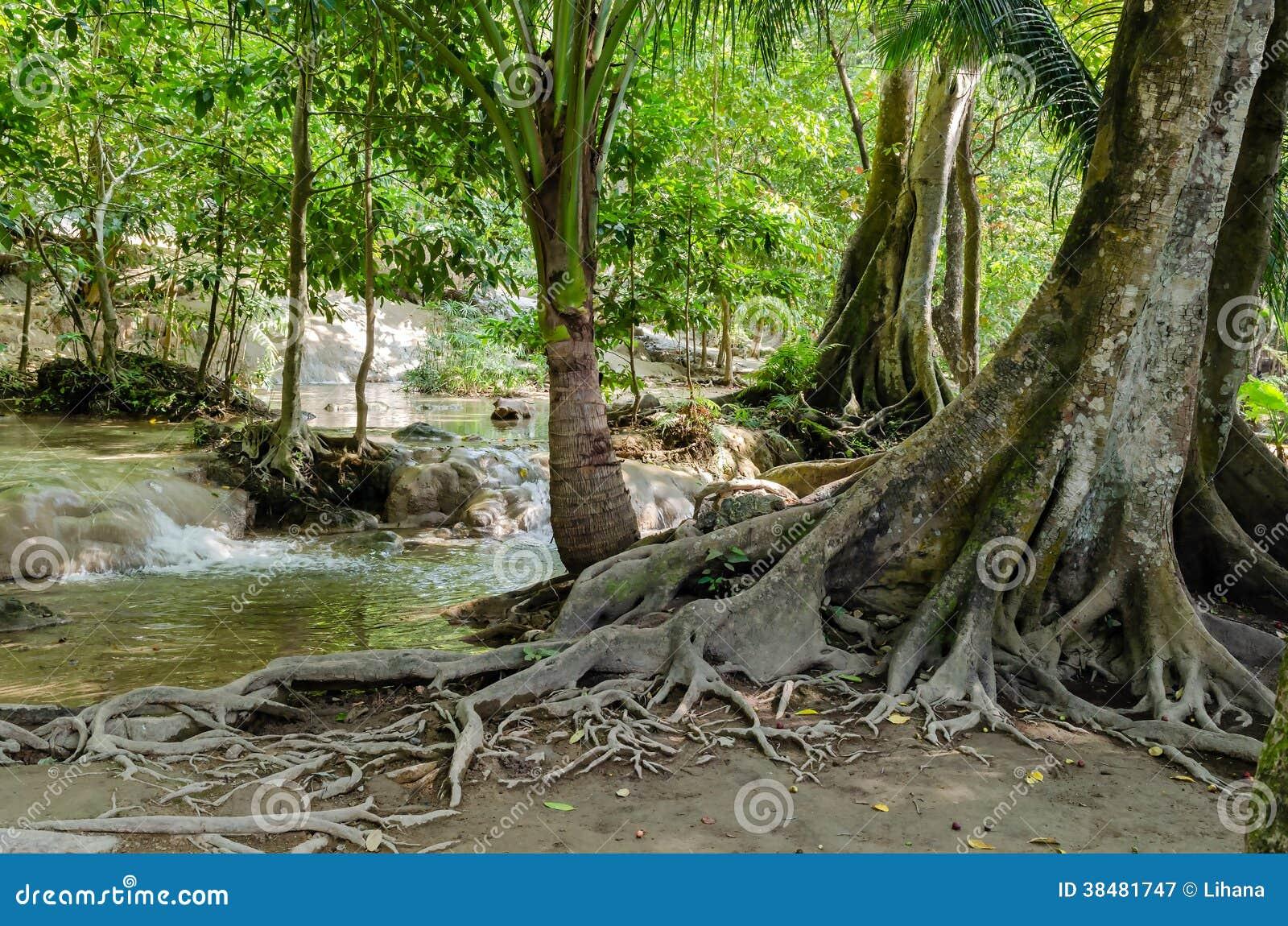 Baum mit wurzeln im regenwald dschungel stockbild bild - Wandtattoo dschungel baum ...