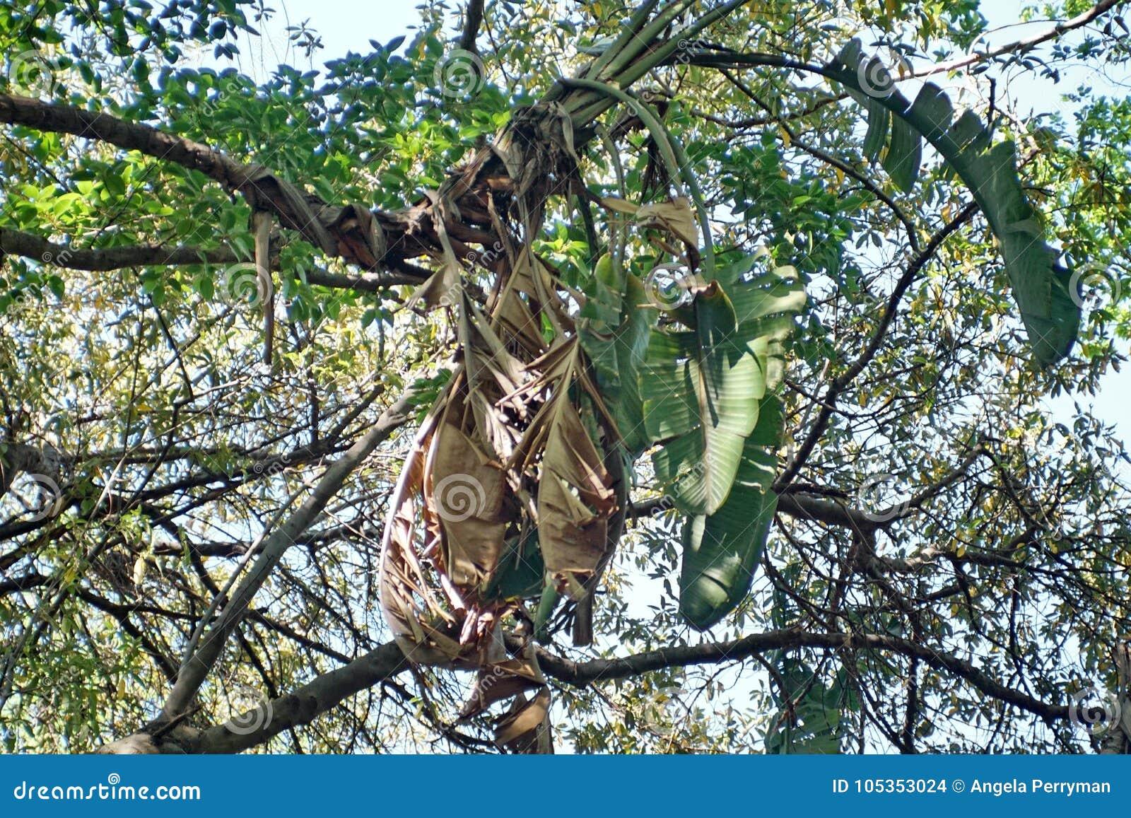 Baum in Pretoria, Südafrika