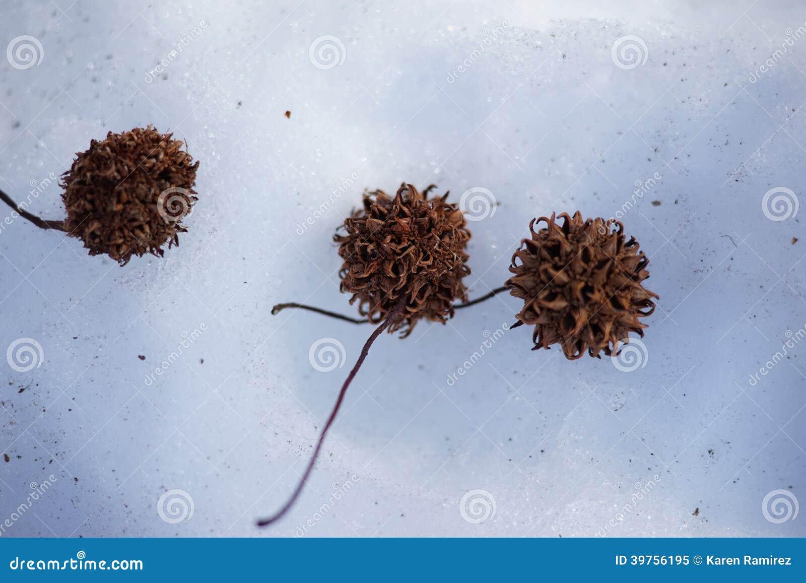 Prächtig Baum-Samen stockbild. Bild von wild, braun, nahaufnahme - 39756195 &TF_23
