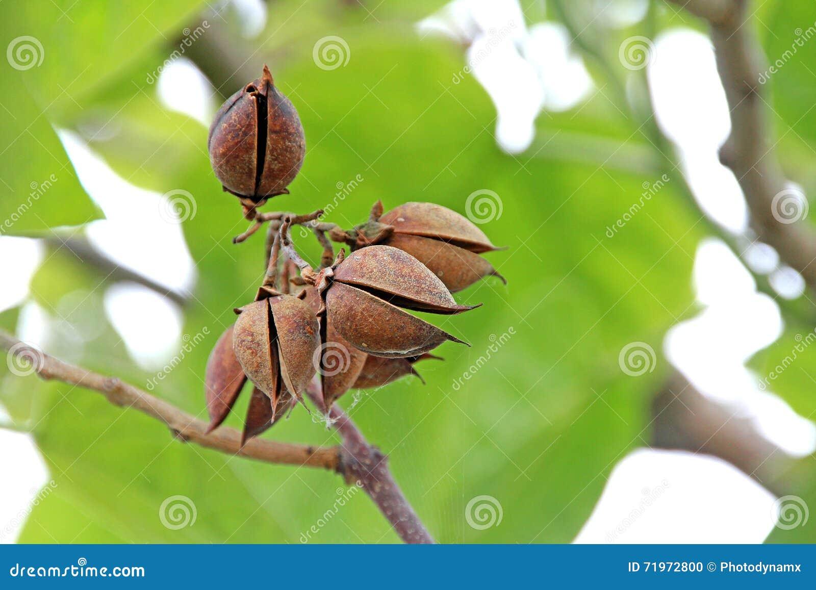 Top Baum-Samen-Hülsen stockfoto. Bild von baum, twigs, frühjahr - 71972800 #JO_85