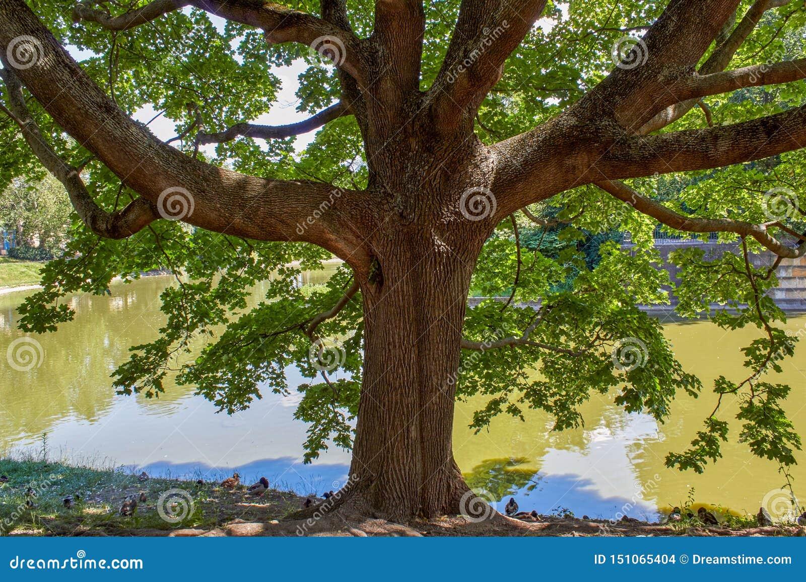 Baum am See mit Enten