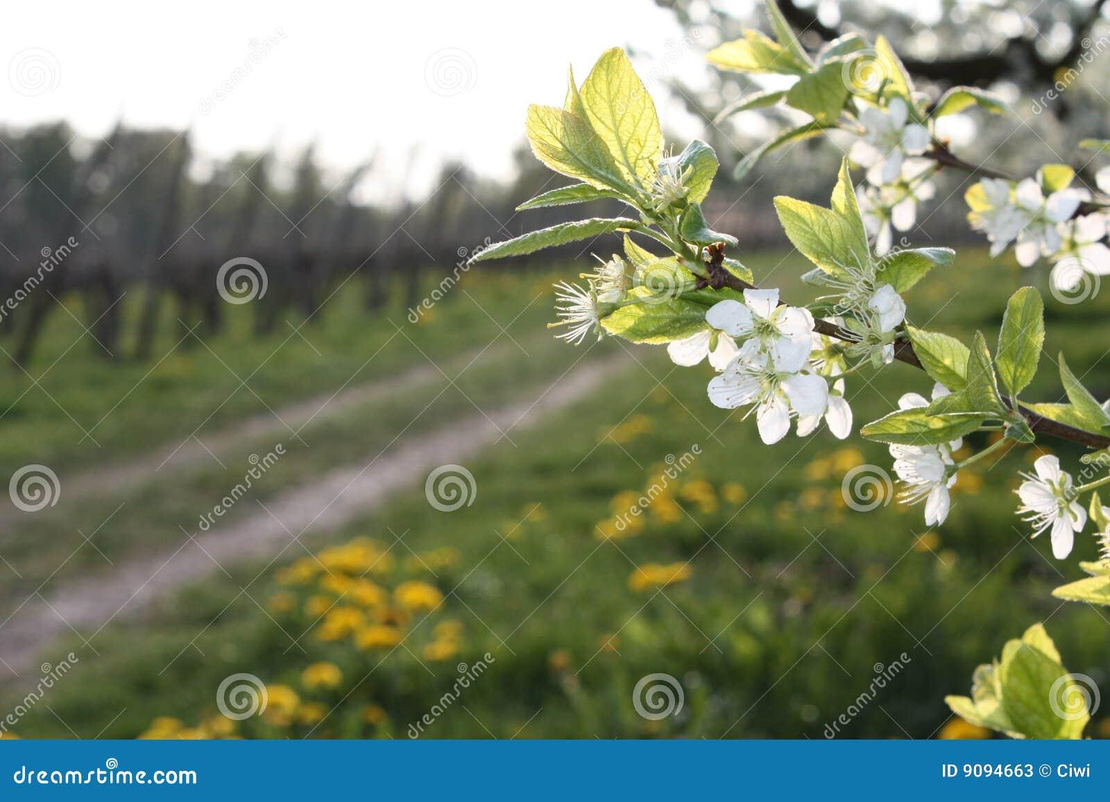 Baumblüte an einem Pfad