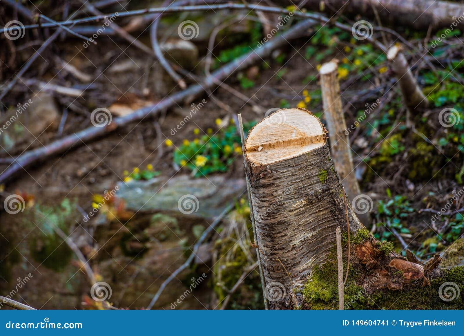 Baumstummel in einem Wald, der geklärt worden ist
