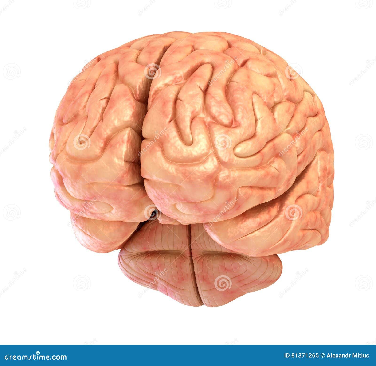 Baumuster Des Menschlichen Gehirns 3D Stock Abbildung - Illustration ...