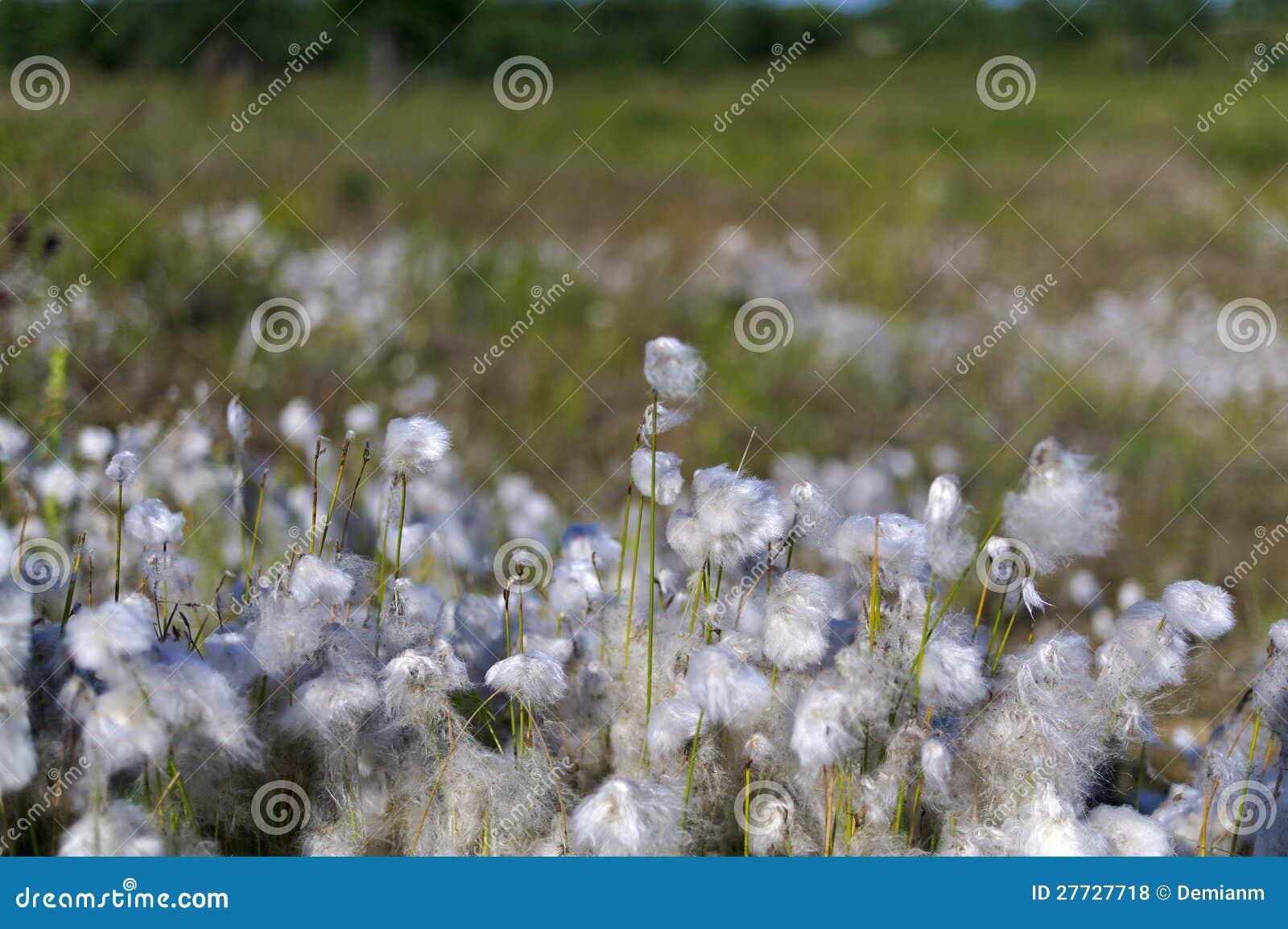 Baumwollgras im Sumpf