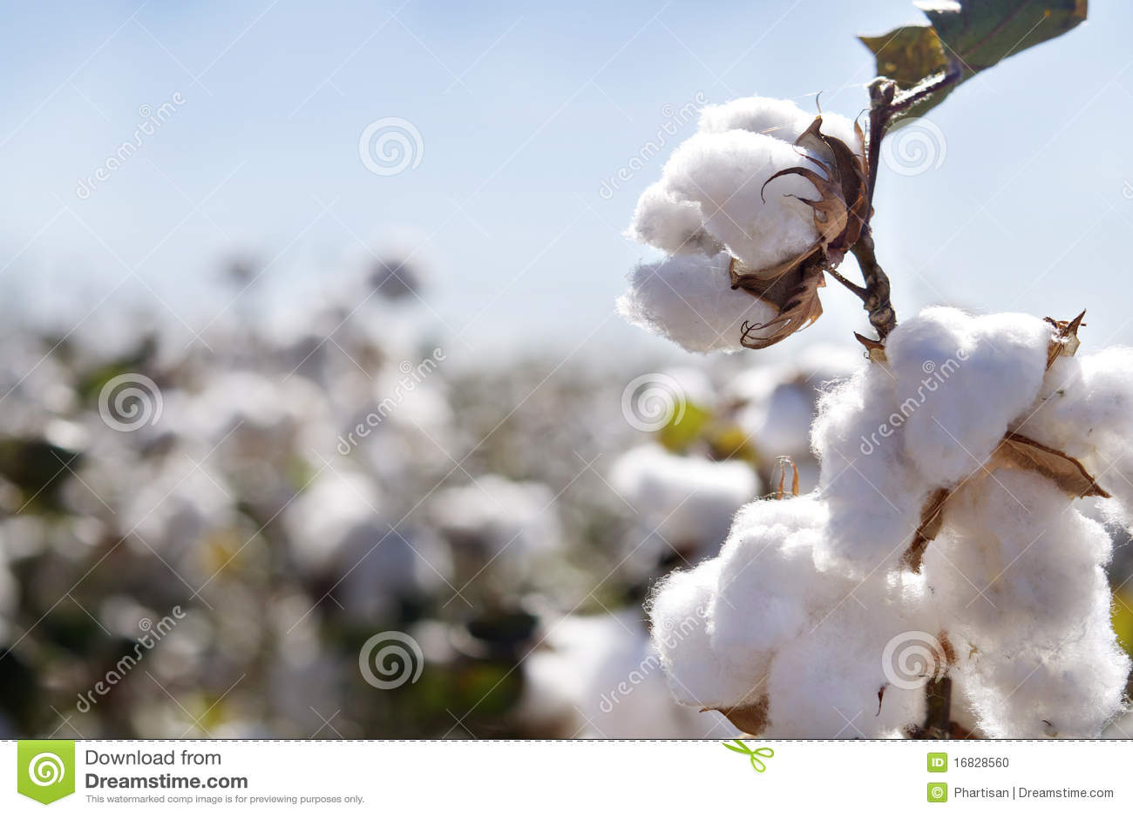 Baumwollknospe auf dem Gebiet