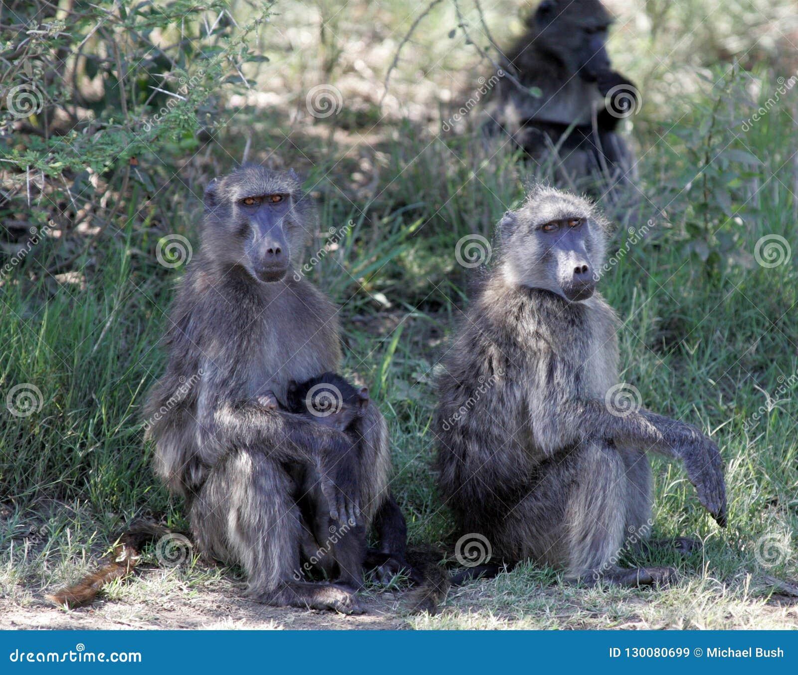 Bavianen in Zuid-Afrika