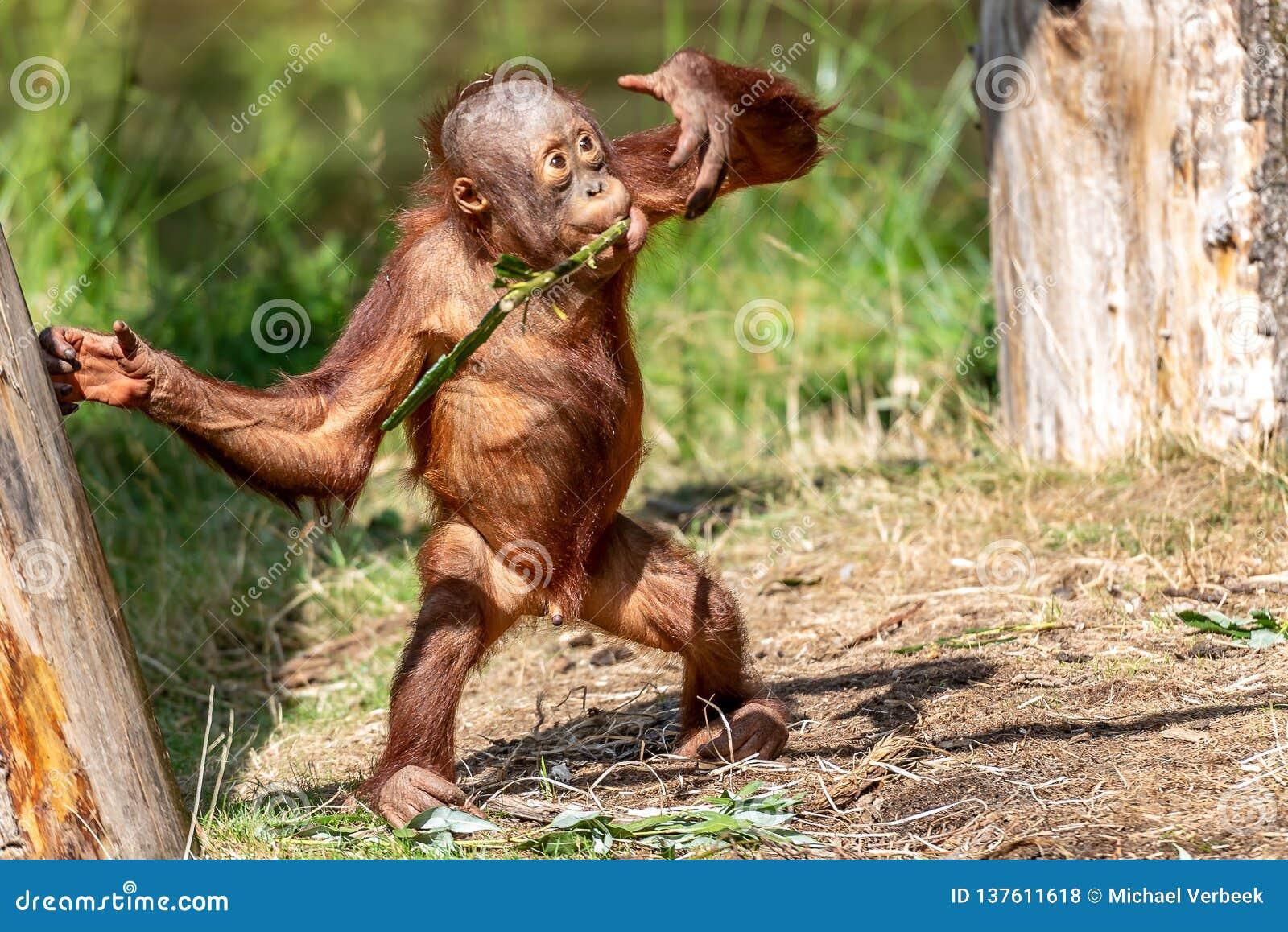 Bawić się en łasowania potomstwa Orang-oetan