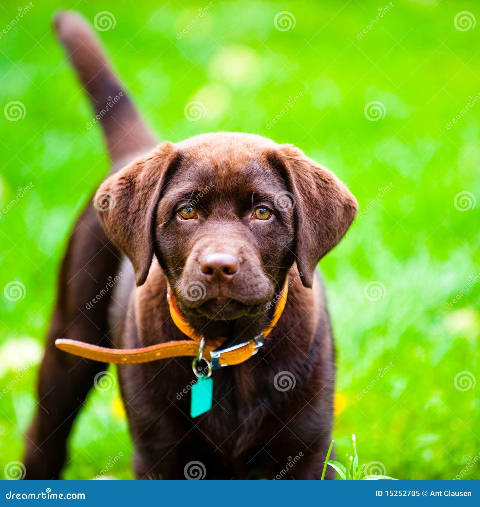 Bawić się szczeniaka śliczny trawa zamknięty śliczny labrador