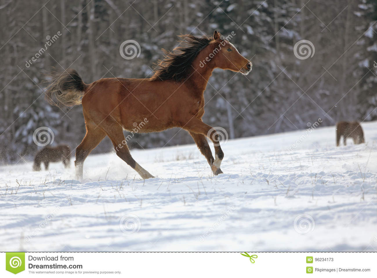 Bay Arabian Horse Galloping Stock Image Image Of Galloping Running 96234173