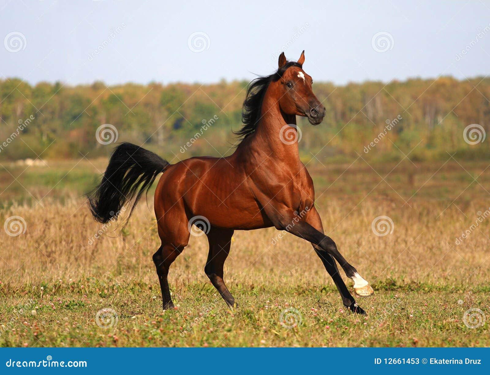 Bay Arabian Horse Running Stock Image Image Of Attentive
