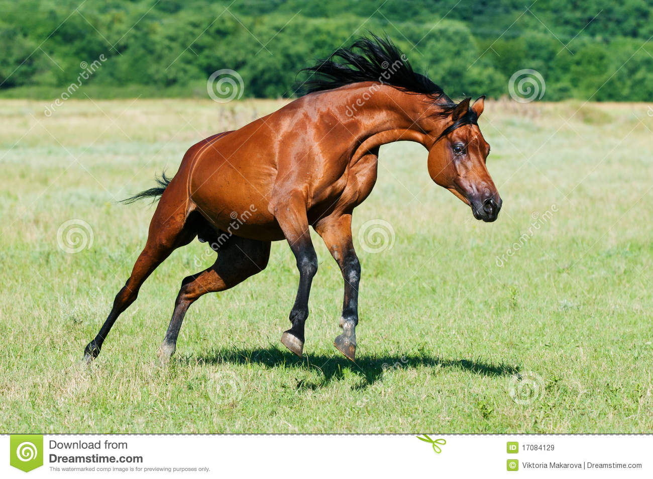 Bay arabian horse runs gallop