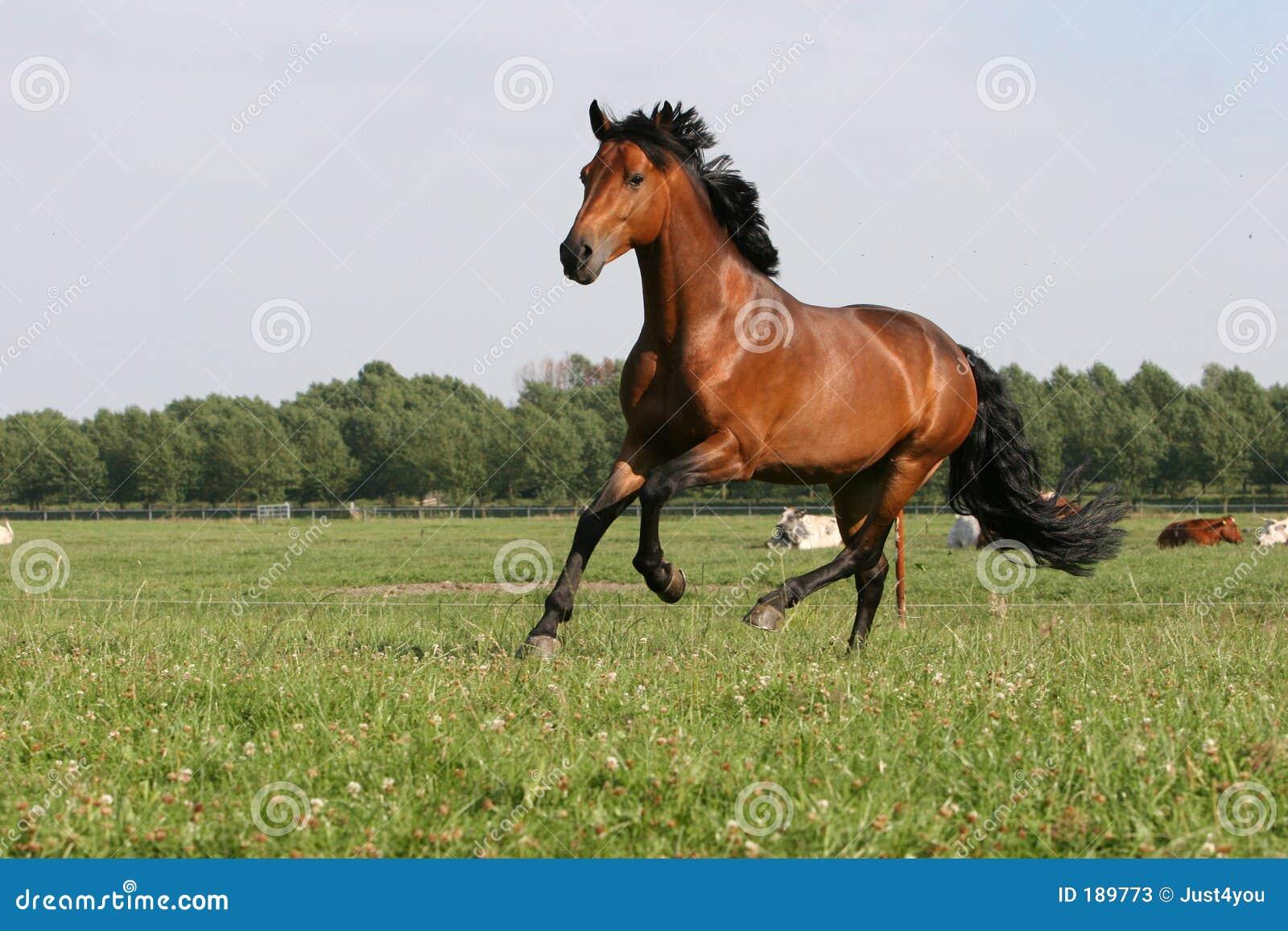 BAY horse Stock Photos...