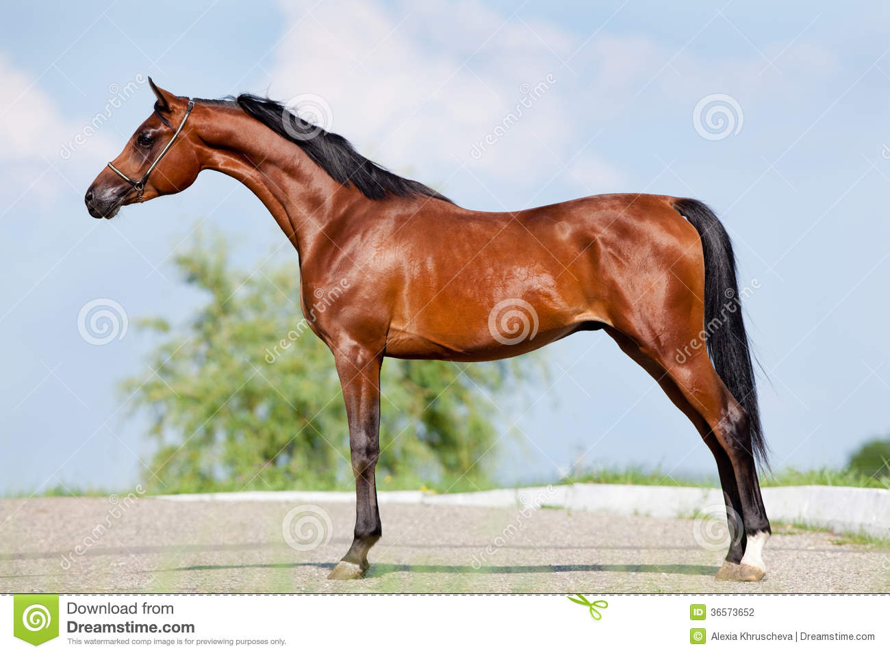 Bay horse - conformation stock photo. Image of stud ...