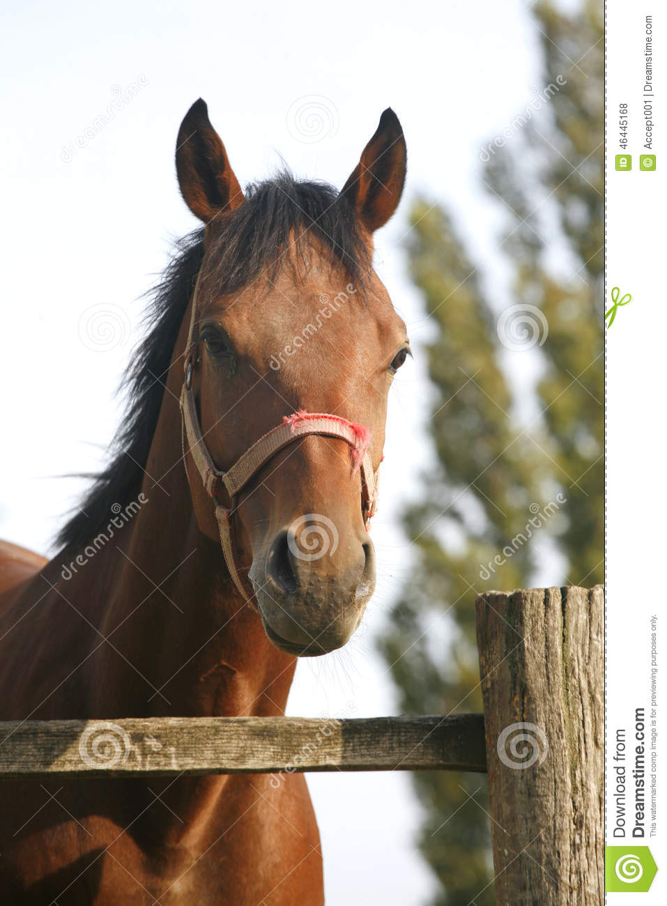 Bay Horse In The Farm Behind The Fence Stock Photo Image