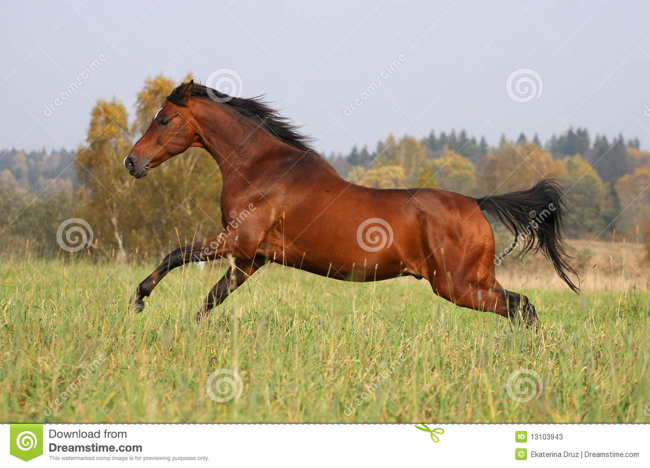 Bay horse running on the autumn meadow