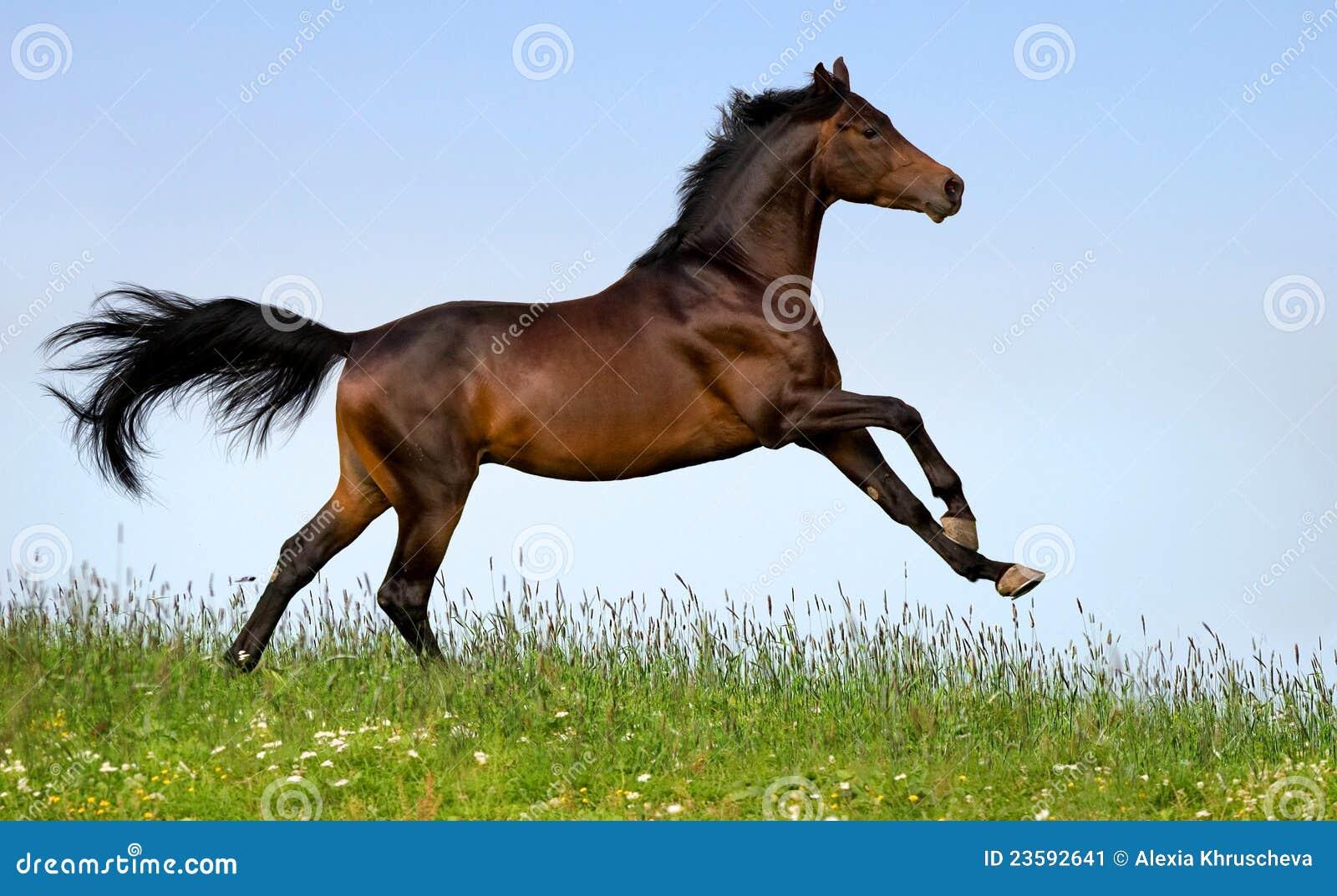 Bay horse runni...