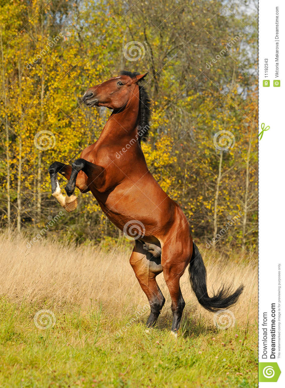 Bay Horse Stallion Play On Grass In Autumn Stock Photos - Image ...