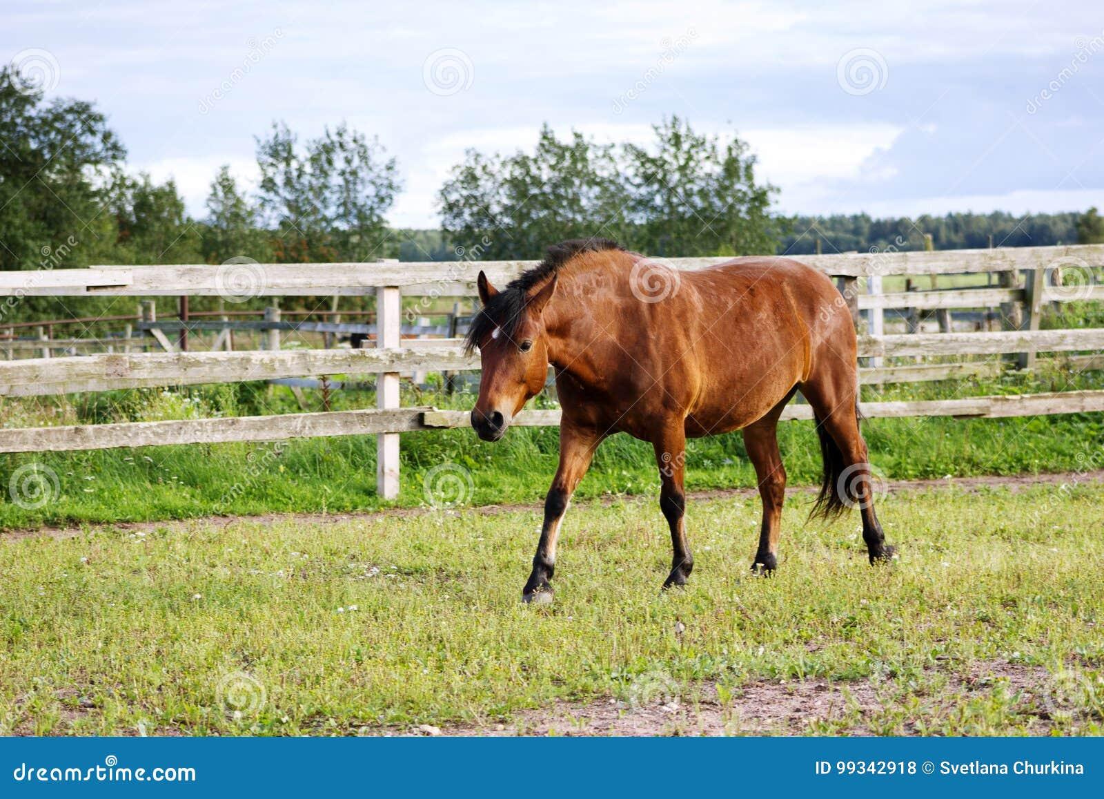 Bay horse walking outdoor