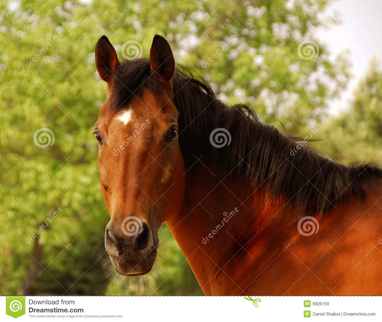 Star Clipart Bay Thoroughbred Horse...