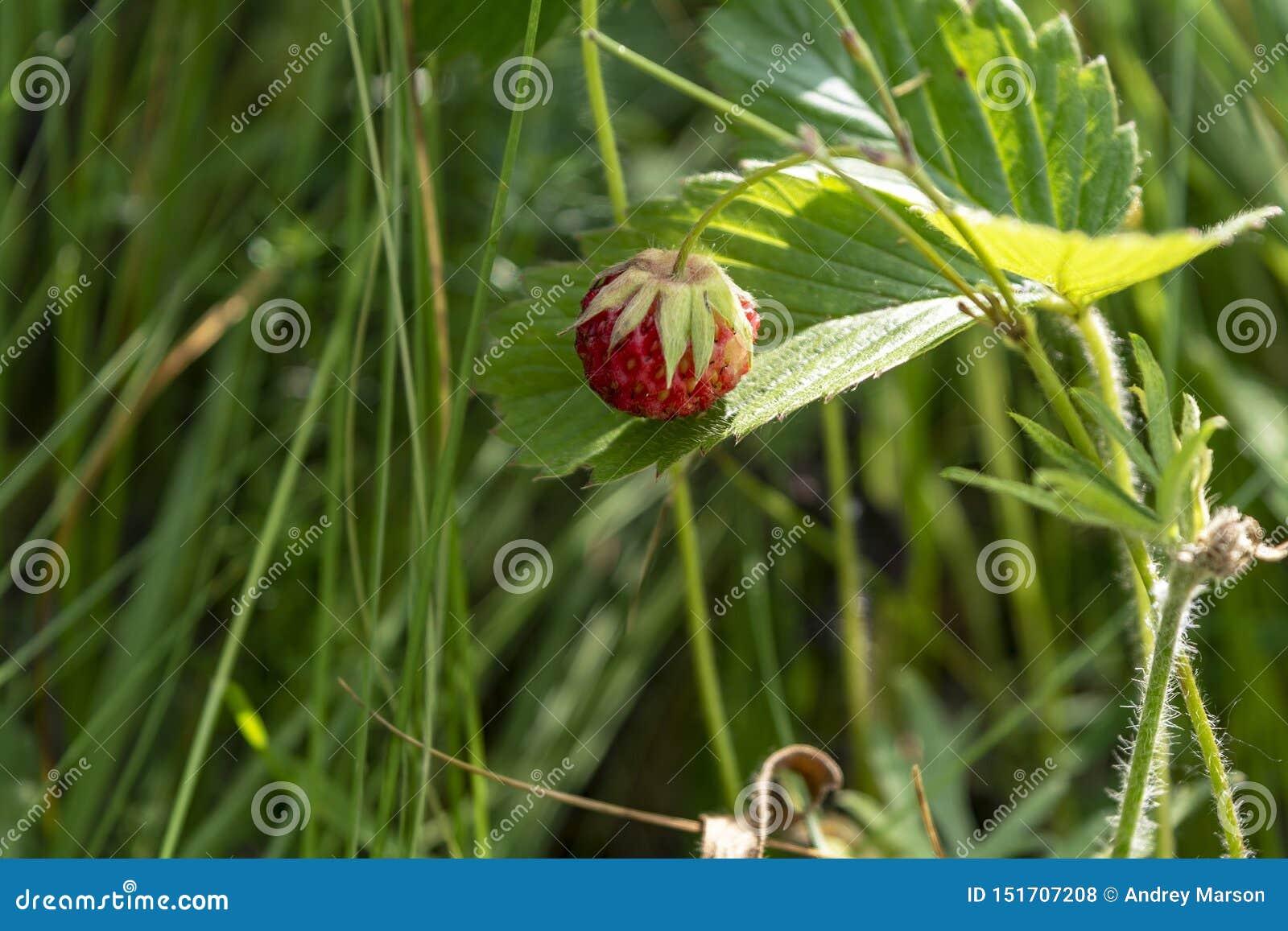 Baya de la fresa salvaje que crece en el ambiente natural Primer