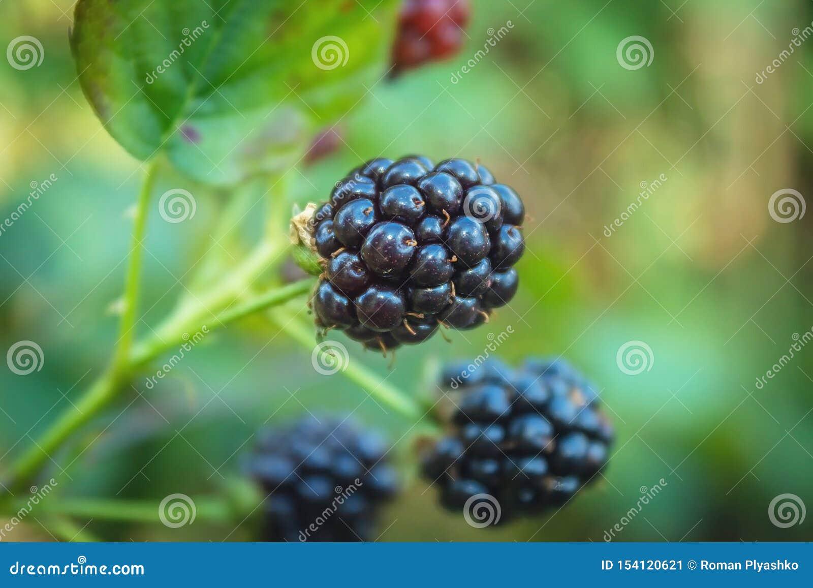 Baya en la rama Ricos en baya de las vitaminas