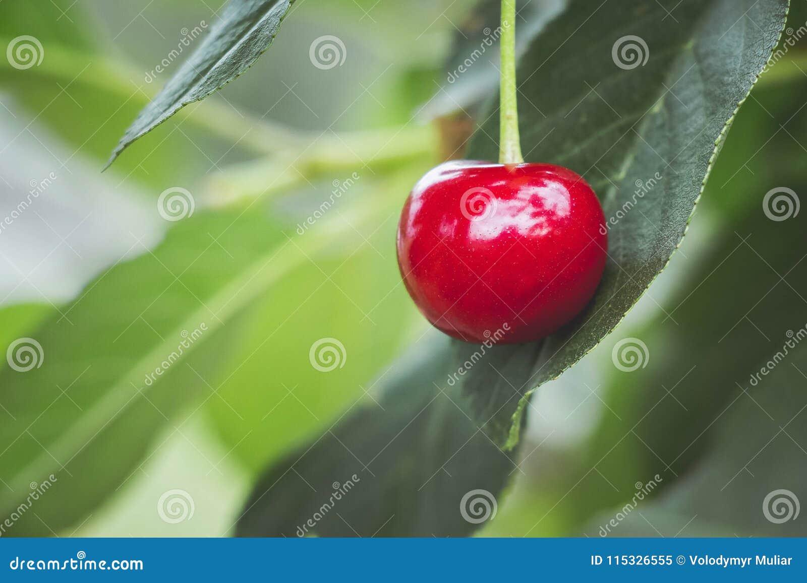 Baya madura roja de la cereza en fondo del leaves_ verde