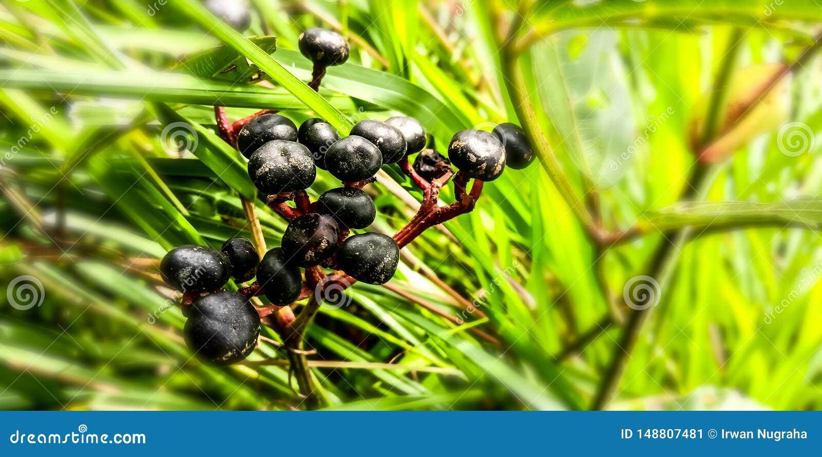Baya negra de los gemelos en el bosque