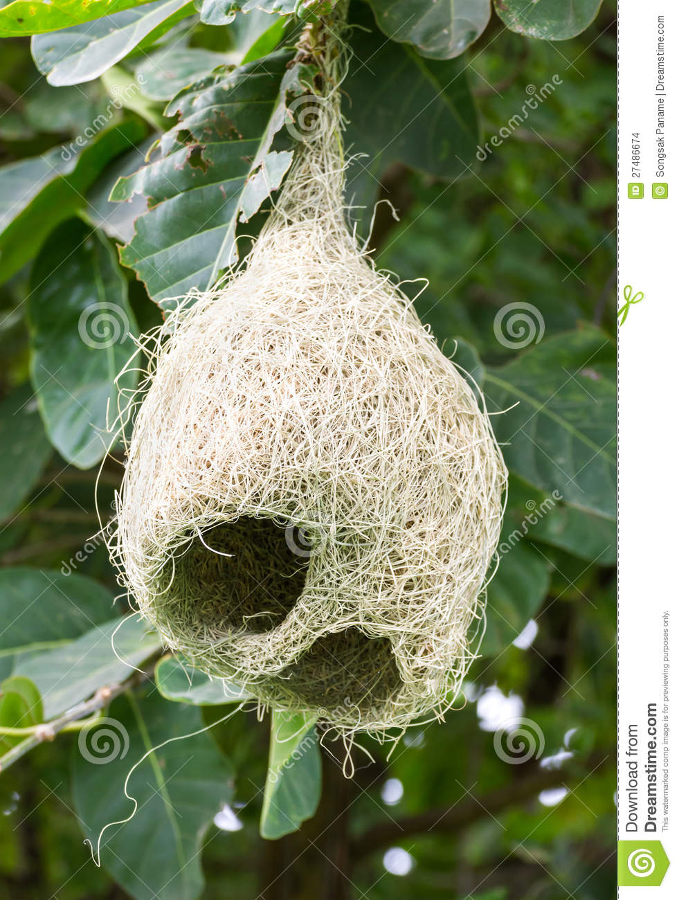 Weaver bird nest pictures - photo#23