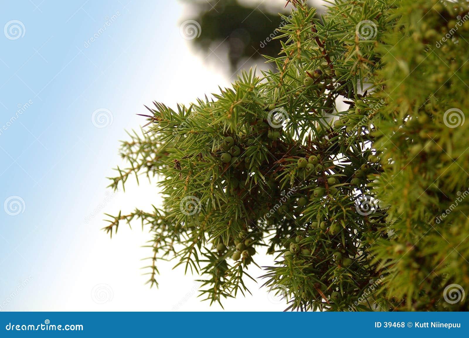 Download Bayas de enebro foto de archivo. Imagen de árbol, enebro - 39468