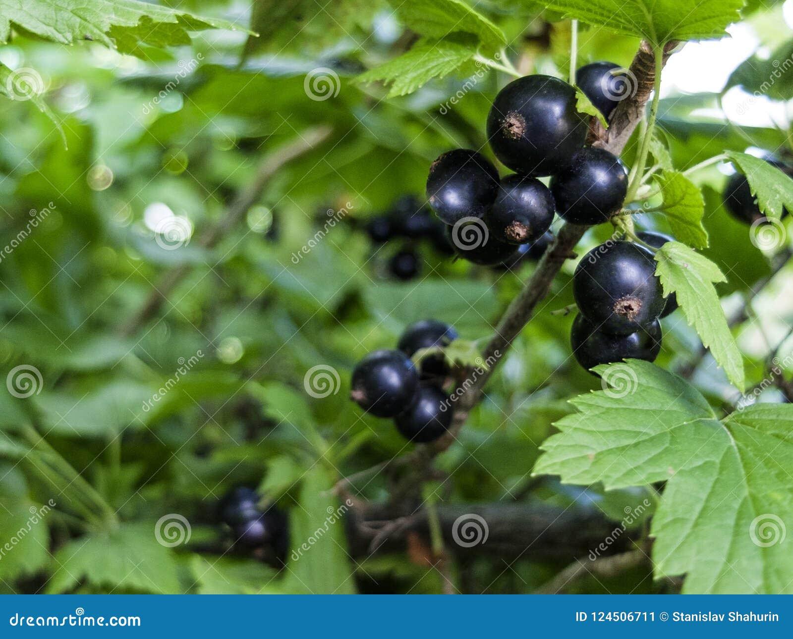 Bayas de la grosella negra en un primer del arbusto