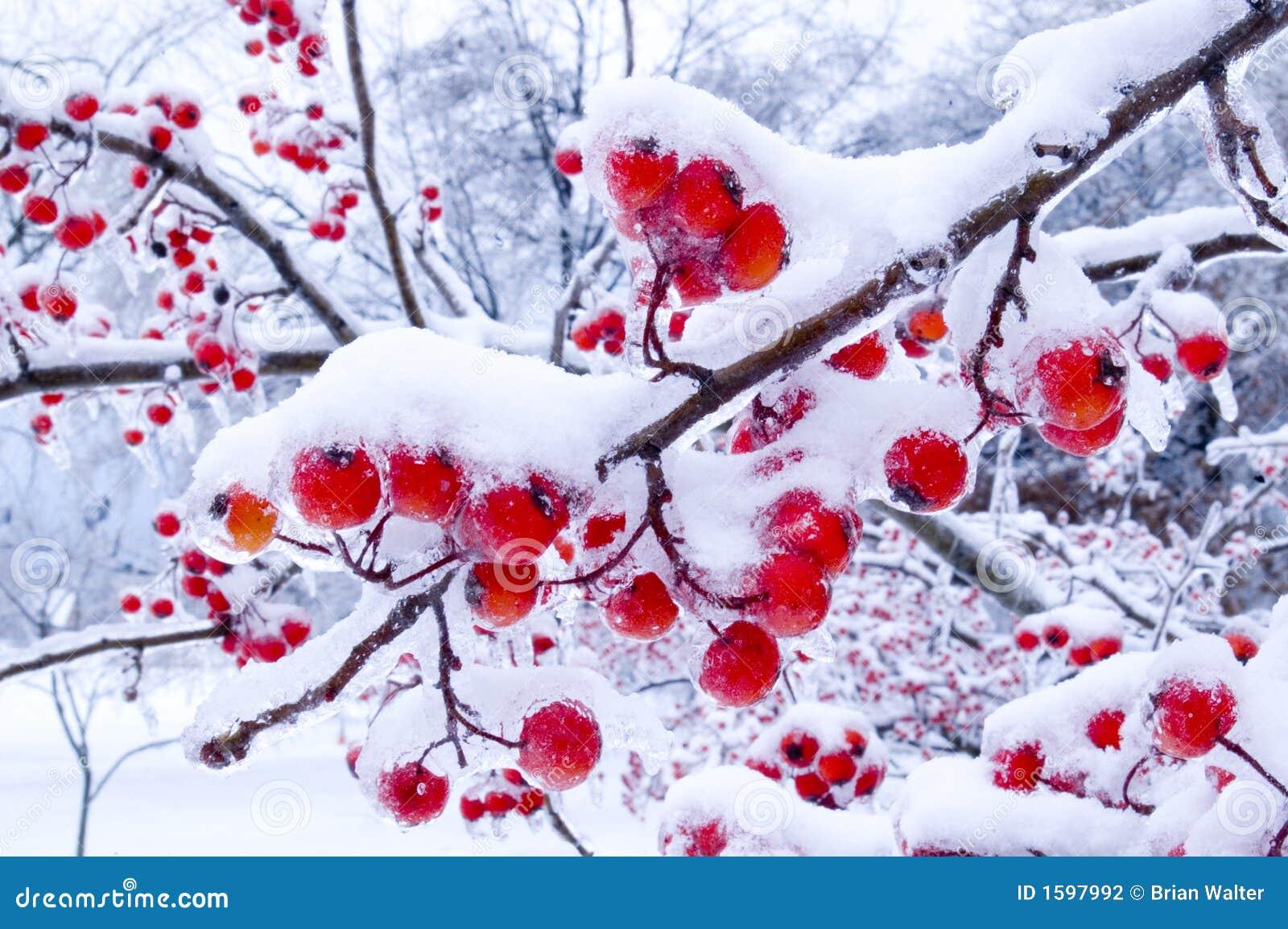Bayas del invierno